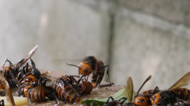 jagd auf hornissen mit rattenkleber. kleben - hornisse stock-videos und b-roll-filmmaterial