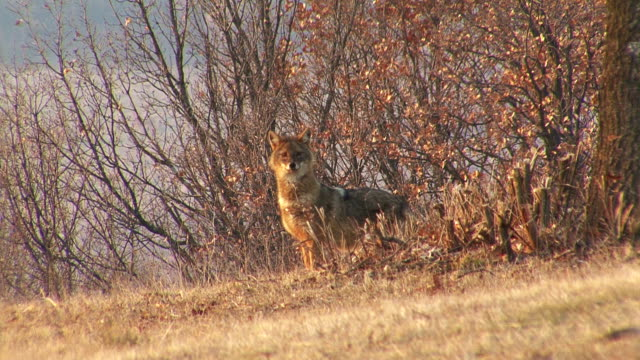 vídeos de stock e filmes b-roll de caça chacal dourado localizar e comer estrutura no inverno de campo - coiote