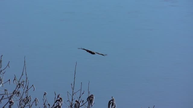 Hunting of an eagle on small birds during flight above the river and wood