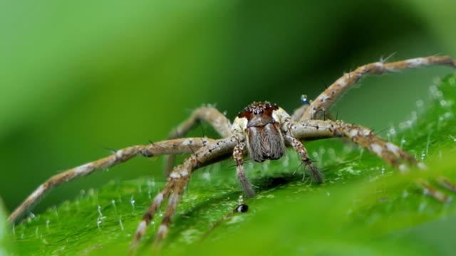 Huntsman spider in tropical rainforest. video