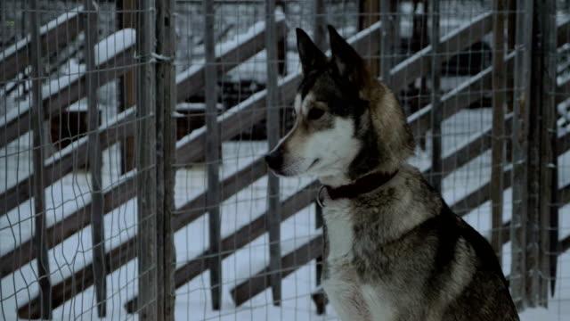 husky dog sitting still in the cage - cane husky video stock e b–roll