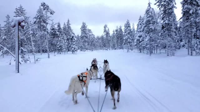 Husky dog sled in Lappland