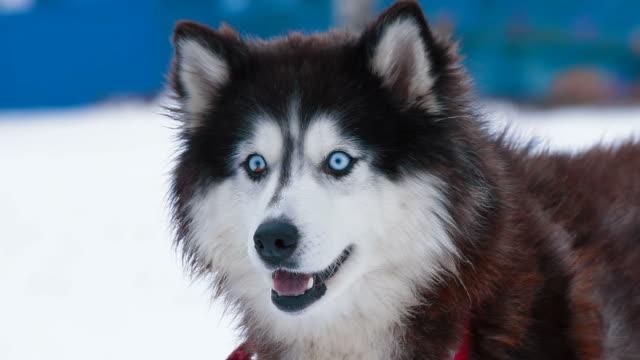Husky dog video