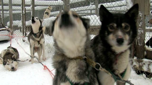 husky dogs barking video