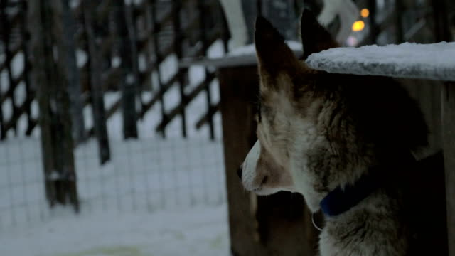 Husky dogs in outdoor cage video