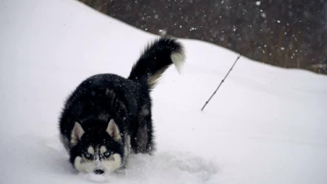 husky in winter forest. slow motion - malamute video stock e b–roll