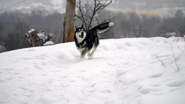 husky in winter forest - malamute video stock e b–roll