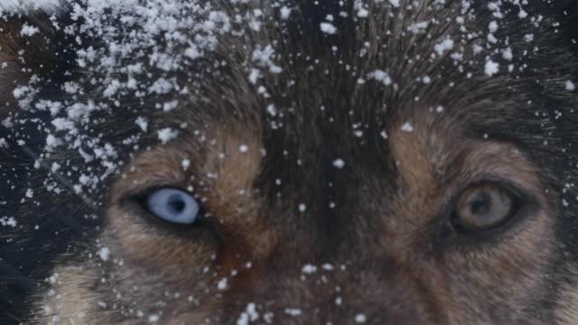 ecu husky guardando la telecamera. - nord europeo video stock e b–roll