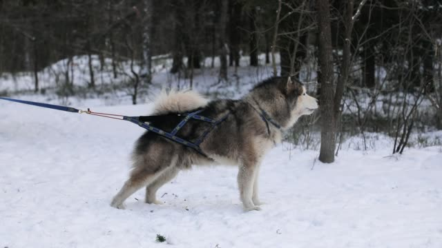 husky on a leash in the forest - malamute video stock e b–roll
