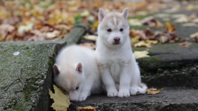 Husky puppies are playing in a park