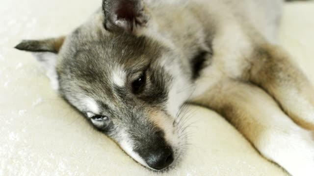 husky cucciolo - cane husky video stock e b–roll