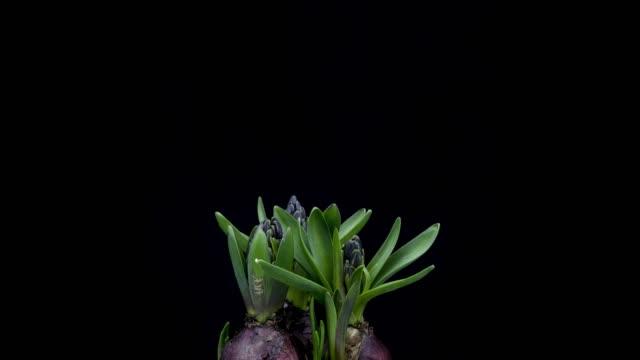 vidéos et rushes de jacinthe floraison time lapse - fleur flore