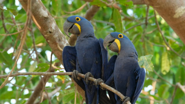 Hyacinth Macaw video