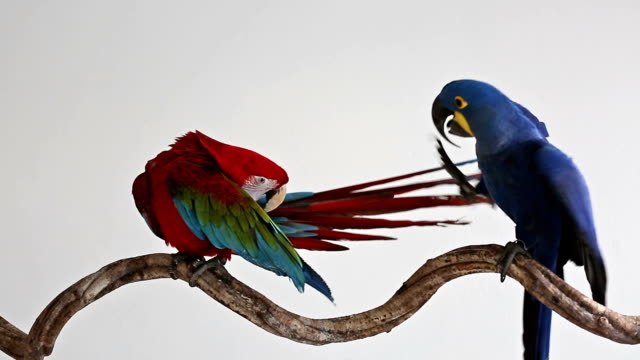 hyacinth macaw with green wing macaw playing on branch video