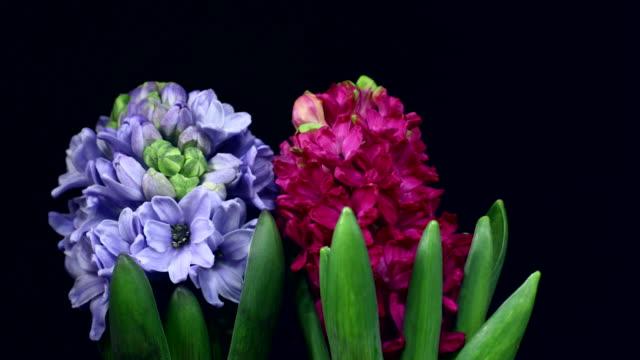 hyacinthus orientalis blühenden 4 k - einzelne blume stock-videos und b-roll-filmmaterial
