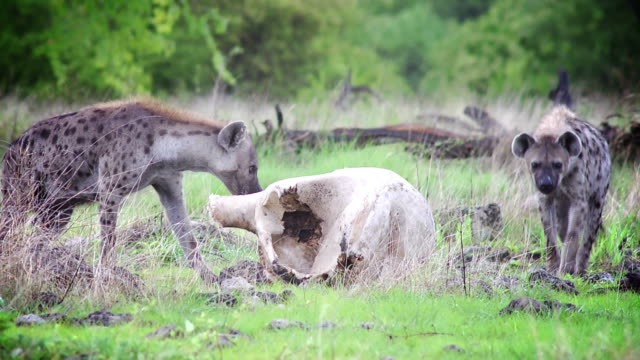 stockvideo's en b-roll-footage met hyaenas - dierlijk bot