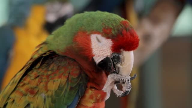 Hybrid Macaw Chewing (HD) video