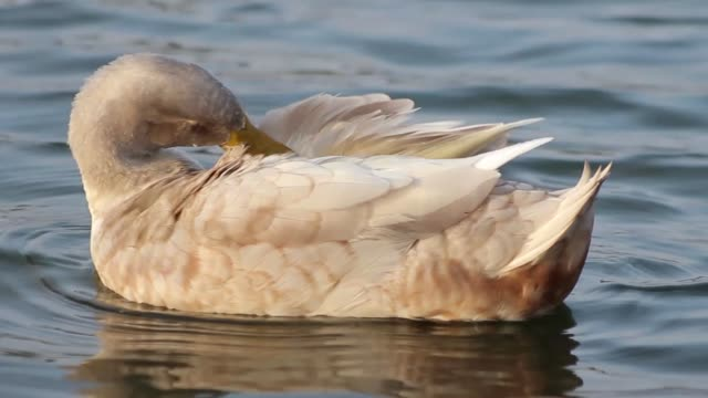 a hybrid mix between a mallard and a white campbell duck preens on the water - svasso video stock e b–roll