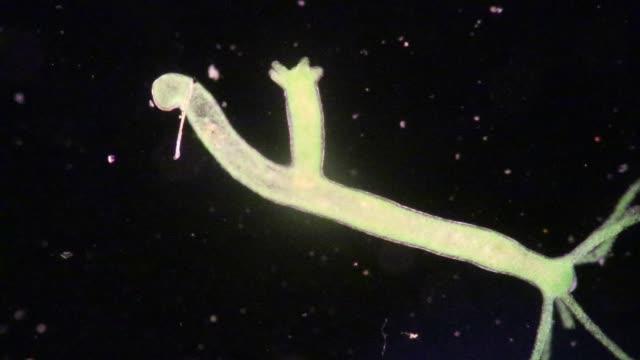 hydra, cnidaria ve sınıf hydrozoa'nın küçük, tatlı su hayvanı cinsine sinorbir dir. - üreme organı stok videoları ve detay görüntü çekimi