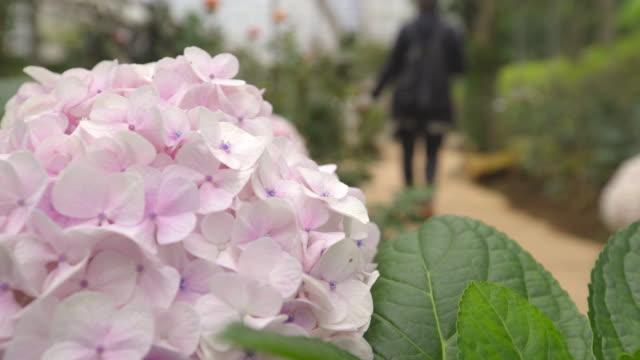 hortensie blüte nahaufnahme schuss mit frau zu fuß im hintergrund - hortensie stock-videos und b-roll-filmmaterial