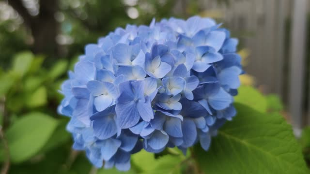 hortensienblüte in japan - regenzeit stock-videos und b-roll-filmmaterial