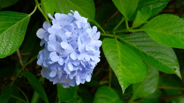 hortensienblumen, japanische regenzeit - hortensie stock-videos und b-roll-filmmaterial