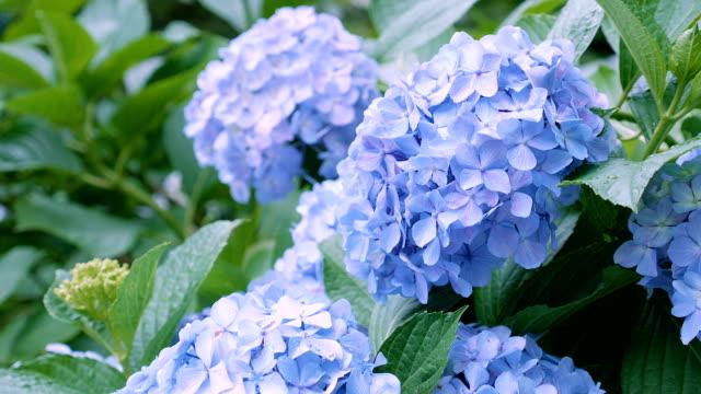 hydrangea blüht in kokubunji, tokyo, japan - hortensie stock-videos und b-roll-filmmaterial
