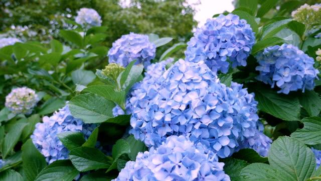 東京都国分寺市に、アジサイの花 - 夏点の映像素材/bロール