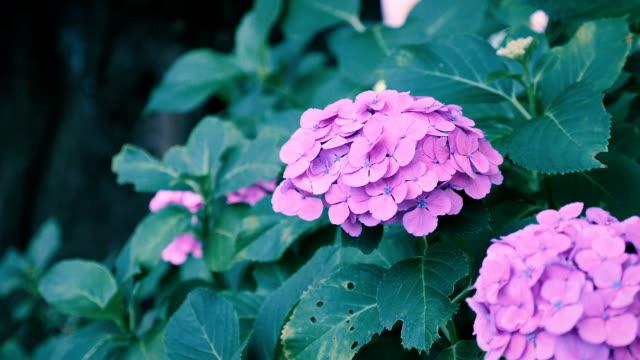 stockvideo's en b-roll-footage met hydrangea bloemen, in kokubunji, tokio, japan - hortensia