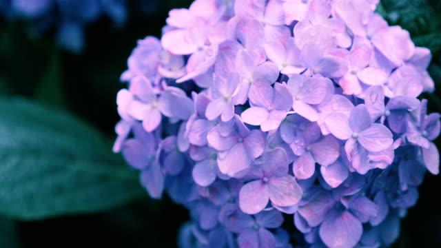 hydrangea blüht in kokubunji, tokyo, japan - vier jahreszeiten stock-videos und b-roll-filmmaterial