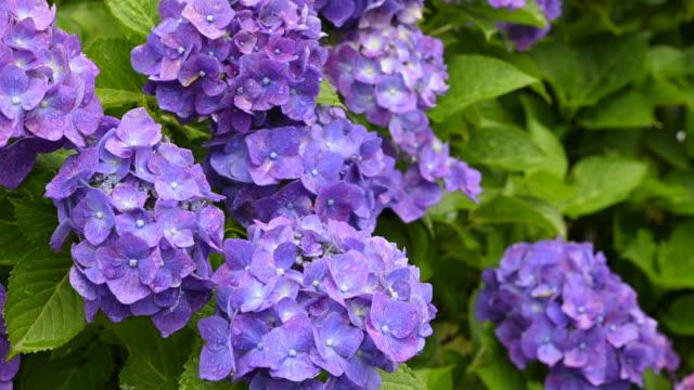 hortensien werden im regen nass. hortensientempel in usuki oita japan. - hortensie stock-videos und b-roll-filmmaterial