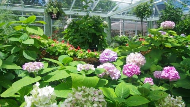 """hydrangea im """"greenhouse"""" - hortensie stock-videos und b-roll-filmmaterial"""