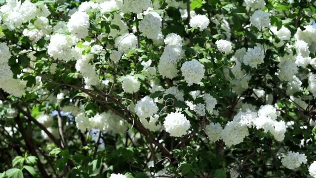 hortangea paniculata busch mit hortensienblüten, die im wind schwanken. blumenbusch im sommer. outdoor-erholung. gartenblumen - hortensie stock-videos und b-roll-filmmaterial