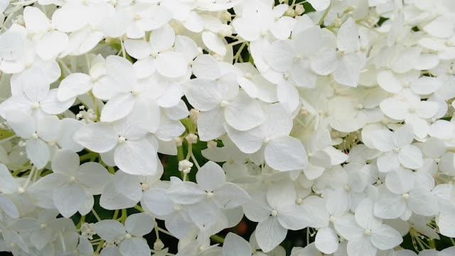 hortensie baumartige blüte mit schönem blütenstand aus nächster nähe - hortensie stock-videos und b-roll-filmmaterial