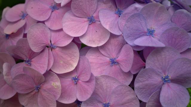hydrangea - hortensie stock-videos und b-roll-filmmaterial