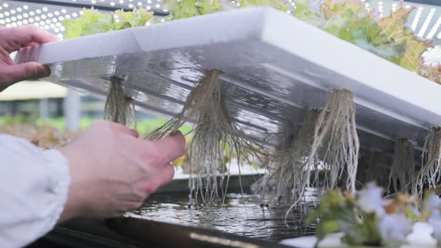Hydroculture Specialist Studying Root Structure of Lettuce video