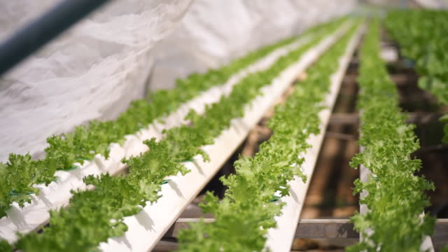 Hydroponic vegetable is planted in a garden video