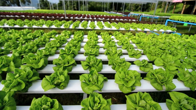Hydroponic vegetables growing in greenhouse, Thailand video