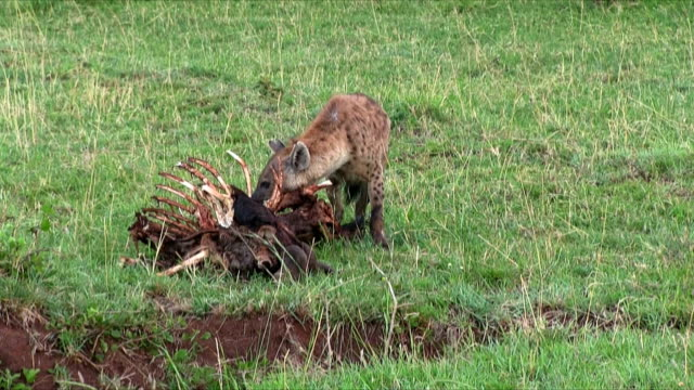 Hyena with wildebeest carcass in Serengeti - Tanzania Hyena with a wildebeest carcass in Serengeti N.P. - Tanzania (clip composed of three scenes) scavenging stock videos & royalty-free footage