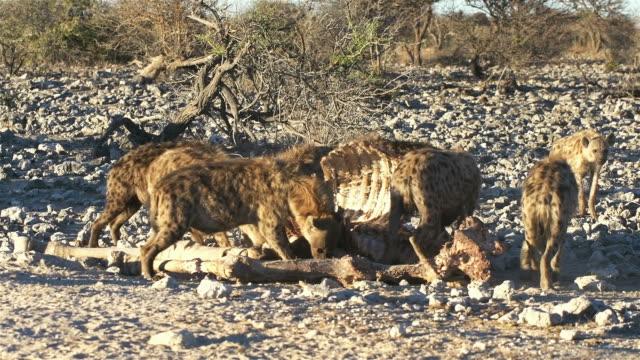 Hyenas ビデオ