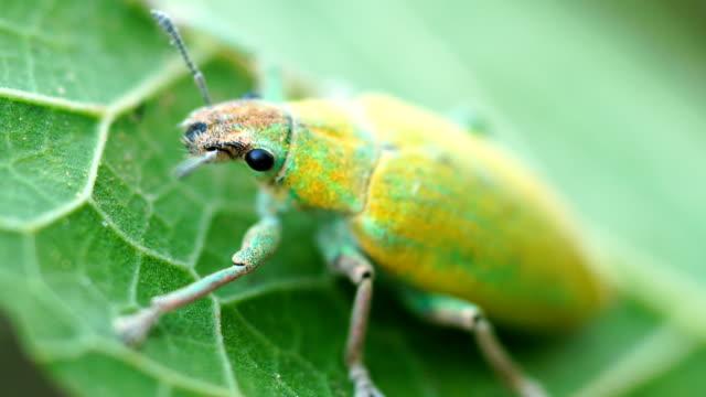 hypomeces squamosus - käfer stock-videos und b-roll-filmmaterial