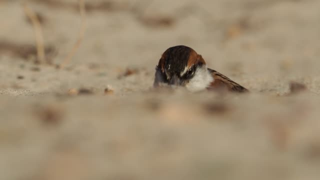 Iago Sparrow - Passer iagoensis - also known as the Cape Verde or rufous-backed sparrow, is endemic to the Cape Verde archipelago, digging for food in the desert and singing