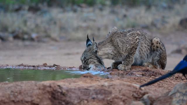 vídeos de stock, filmes e b-roll de lince ibérica, lynx pardinus, água potável em um lago - felino