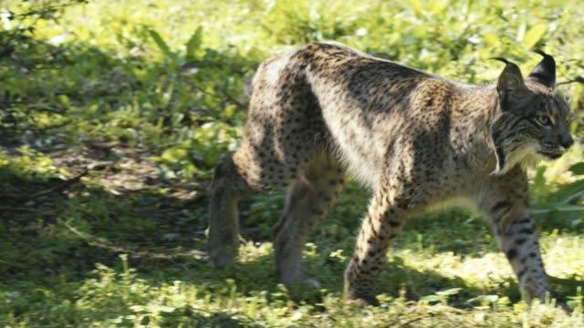 Iberian lynx slow motion