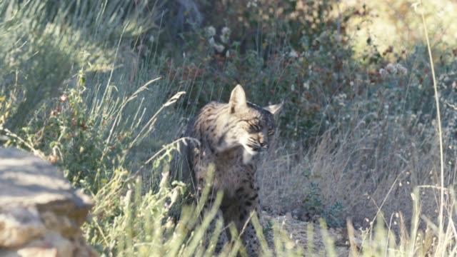 iberisk lodjur slow motion - single pampas grass bildbanksvideor och videomaterial från bakom kulisserna