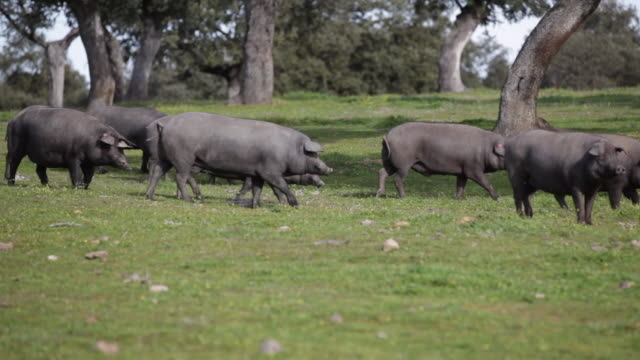iberische schweine auf einer grünen wiese weiden. - schwein stock-videos und b-roll-filmmaterial