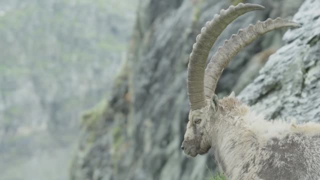 Ibex lying on a mountain / Close Shot