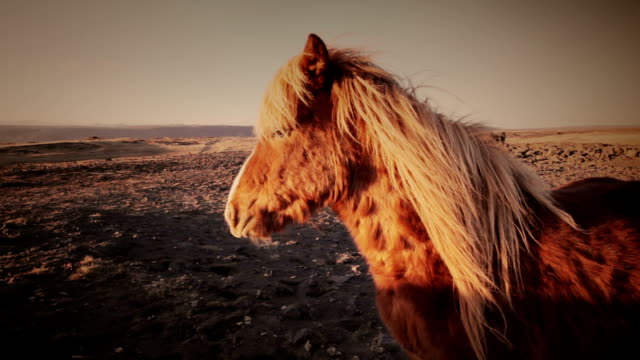 iceland horses video