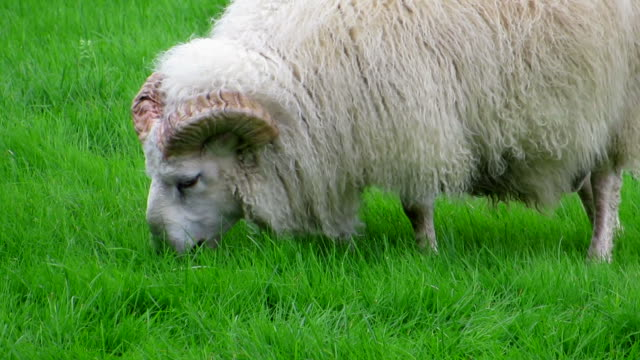 Iceland Sheep video