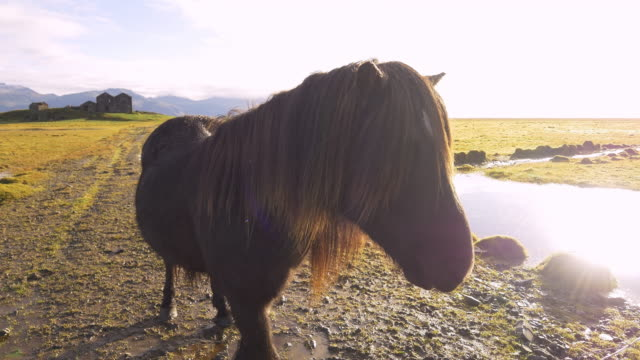 Icelandic horse and old farm house video